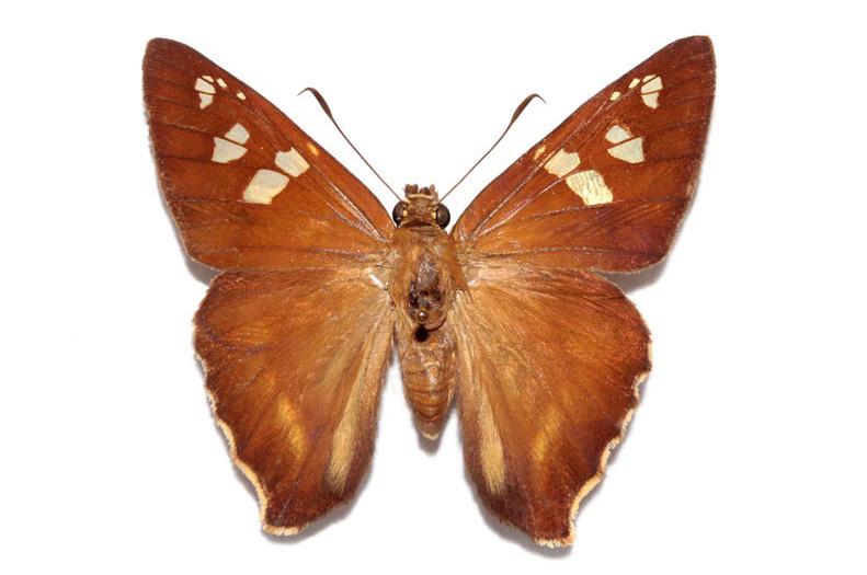 The Perkins Skipper Butterfly